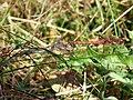 Common Darter Dragonfly (8012785159).jpg
