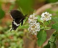 Common Mormon (Papilio polytes)- Male in Hyderabad, AP W 217.jpg