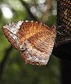 Common Palmfly Elymnias hypermnestra by Dr. Raju Kasambe DSCN1661 (1).jpg