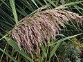 Common Reed (Phragmites australis) (8131465127).jpg