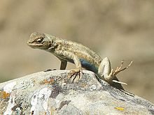 Common Sagebrush Lizard (Sceloporus graciosus).jpg