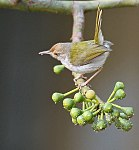 Common Tailorbird (Orthotomus sutorius) feeding in Kolkata I IMG 1355.jpg