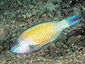 Common parrotfish terminal phase (Scarus psittacus) (42854211185).jpg