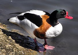 Common shelduck arp.jpg