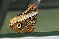 ComputerHotline - Lepidoptera sp. (by) (11).jpg