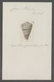 Conus miles - - Print - Iconographia Zoologica - Special Collections University of Amsterdam - UBAINV0274 086 08 0009.tif