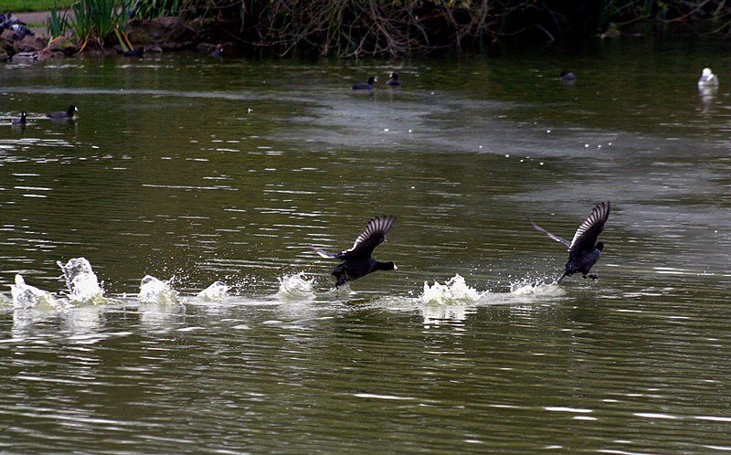 File:Coots.jpg