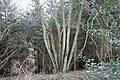 Coppice and Fir, Frith Wood - geograph.org.uk - 344406.jpg