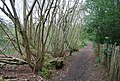 Coppiced trees by the path, Great Britain's Wood - geograph.org.uk - 1255915.jpg