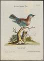 Coracias indica - 1700-1880 - Print - Iconographia Zoologica - Special Collections University of Amsterdam - UBA01 IZ16700225.tif
