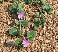 Corbichonia decumbens, habitus, Zoutpan, a.jpg