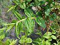 Coriaria nepalensis 2017-05-23 1104.jpg