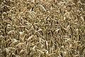 Corn (166177741).jpeg