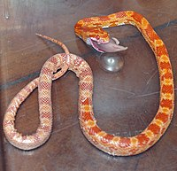 Corn Snake Devouring Dead Mouse Fetus 2 by David Shankbone.jpg