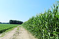 Corn and Soybeans Growing in a Field, Morgan Road, Pittsfield Township, Michigan.JPG