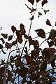 Cornus kousa var. chinensis 0zz.jpg