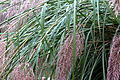 Cortaderia selloana after rain.jpg