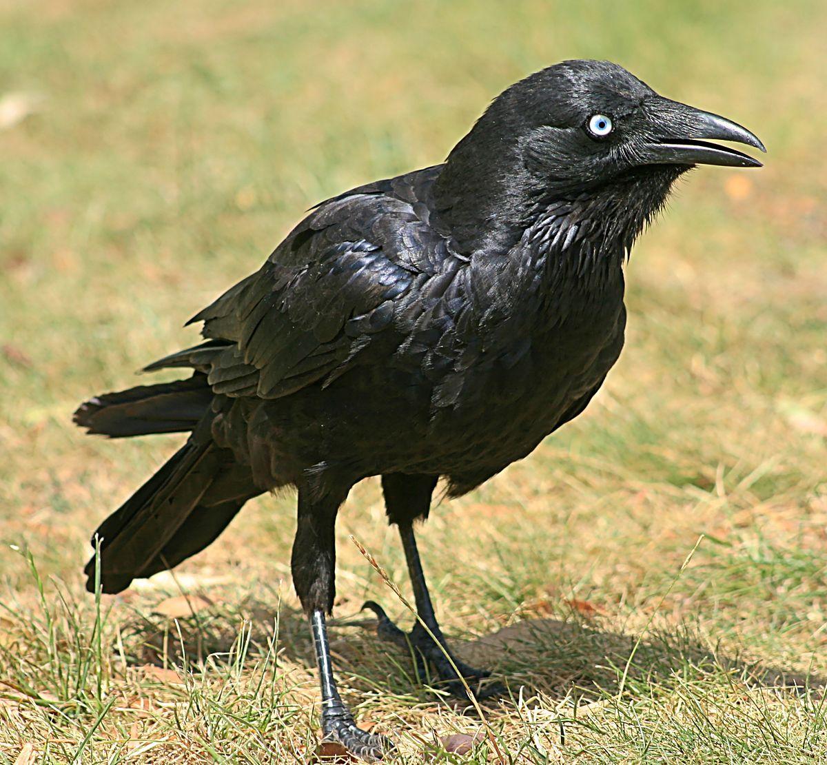 Raven black gallery