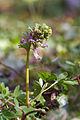 Corydalis solida (Corydale à bulbe plein) - W.Sandras.jpg