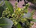 Corynocarpuslaevigata.jpg
