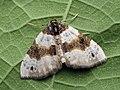 Cosmorhoe ocellata - Purple bar - Ларенция глазчатая (27069274638).jpg