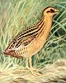 yellow rail