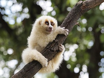 Javan slow loris