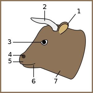Cow, head-num