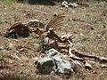 Cow carcass.JPG