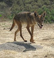 Will A Coyote Attack A Human Walking A Dog