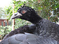 Crax daubentoni -Philadelphia Zoo, Pennsylvania, USA -female-8a (1).jpg