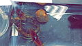 Crayfish Fight.jpg