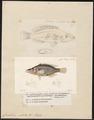 Crenilabrus rostratus - 1700-1880 - Print - Iconographia Zoologica - Special Collections University of Amsterdam - UBA01 IZ13900223.tif