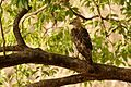 Crested Hawk-Eagle DSC 0999.jpg