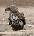Crested Hawk Eagle 4.jpg