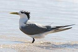Crested Tern.jpg