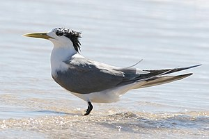Greater crested tern - Non-breeding adult T. b. cristata