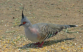 Crested pigeon442.jpg