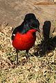 Crimson-breasted shrike (Laniarius atricoccineus) (5923591934).jpg