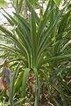 Crinum pedunculatum plant (BBG).jpg