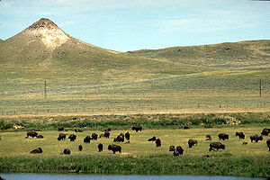 Crook County, Wyoming - Buffalo on the range in Crook County, Wyoming