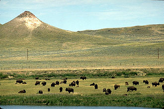 Crook County, Wyoming - Buffalo on the range in Crook County