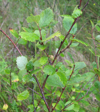 Cropped clear betula pumila.png