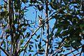 Cuban Tody (Todus multicolor) (8592687788).jpg