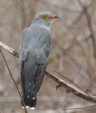 African cuckoo - Image: Cuckoo African 2010 10 04 11 00 50 10630