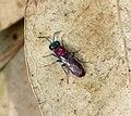 Cuckoo Wasp Chrysididae, probably Chrysura dichroa. Chrysididae (31741654584).jpg