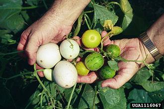 Cucurbita texana - C. texana fruit (left side)