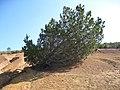 Cupressus forbesii at Coal Canyon-Sierra Peak, Orange County - Flickr - theforestprimeval (17).jpg