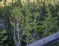Cupressus pygmaea1.jpg
