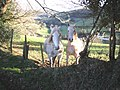 Curious ponies, above Little Silver - geograph.org.uk - 1626489.jpg